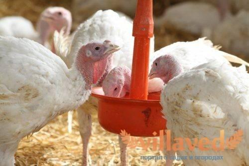 Как ухаживать и чем кормить индюшат в домашних условиях
