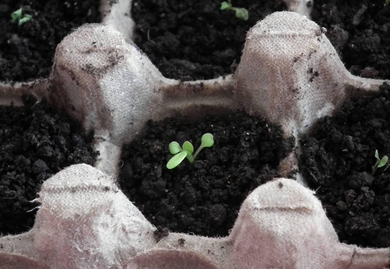 Как сажать редиску в яичные ячейки