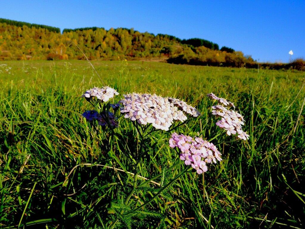Трава счастья кориандр во всем своем разнообразии