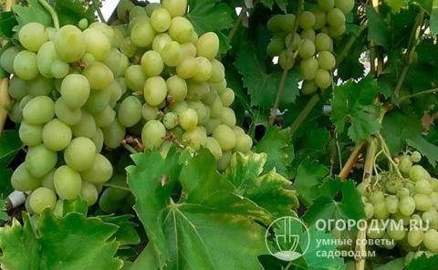 Ранние сорта винограда: разбираем внимательно
