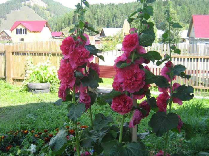 Описание лучших сортов шток-розы, посадка, выращивание и уход в открытом грунте