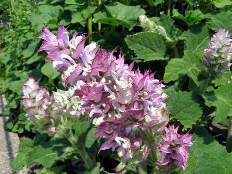 Выращивание шалфея мускатного от посева до сбора урожая