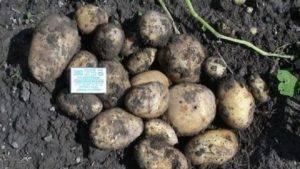 Удобрения для картофеля при посадке и осенью: виды, как вносить. советы огородников