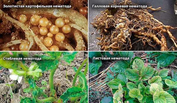Стеблевая нематода (лат. ditylenchus dipsaci)