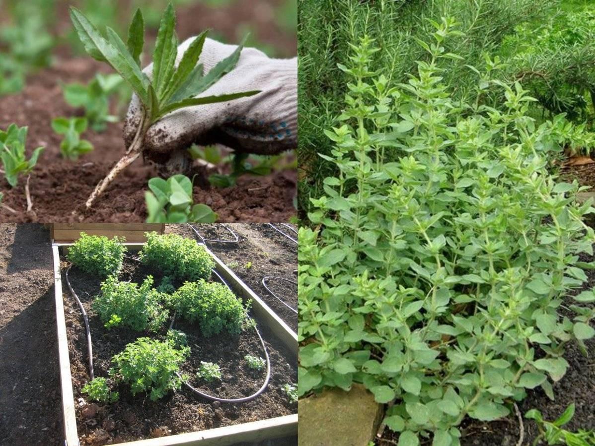 Душица выращивание