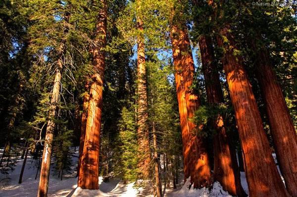 Самые высокие виды деревьев в мире – список, где растут, размер, фото и видео