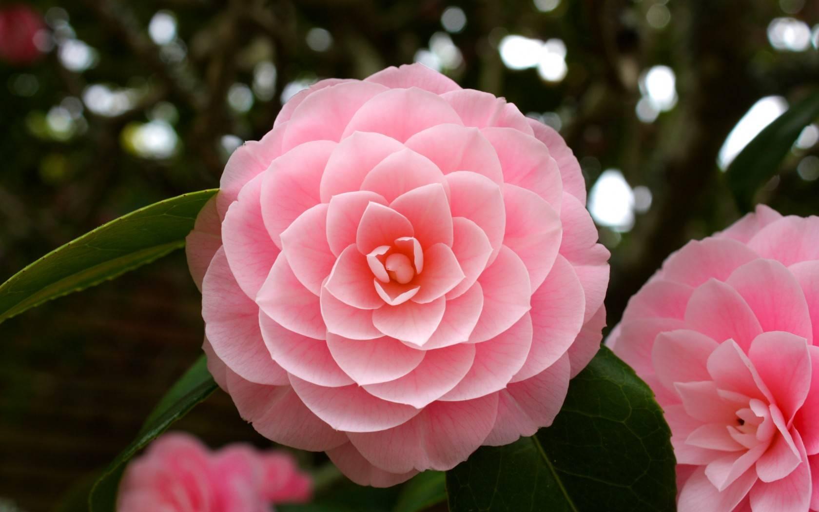 Цветок «камелия»: фото, уход и выращивание в домашних условиях