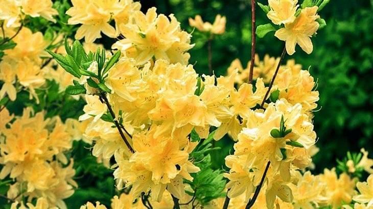 Виды рододендронов – ванильное небо сада