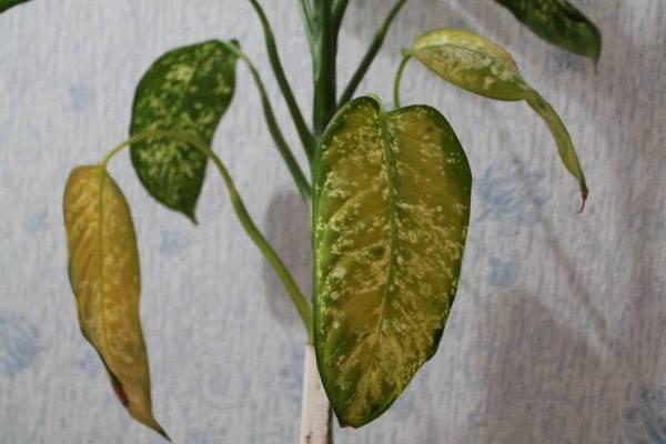 Почему желтеют листья у диффенбахии: причины и методы борьбы