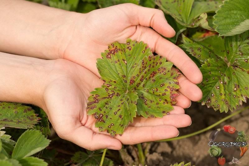 Секреты применения удобрений при выращивании укропа. чем подкормить пряность, если плохо растет?
