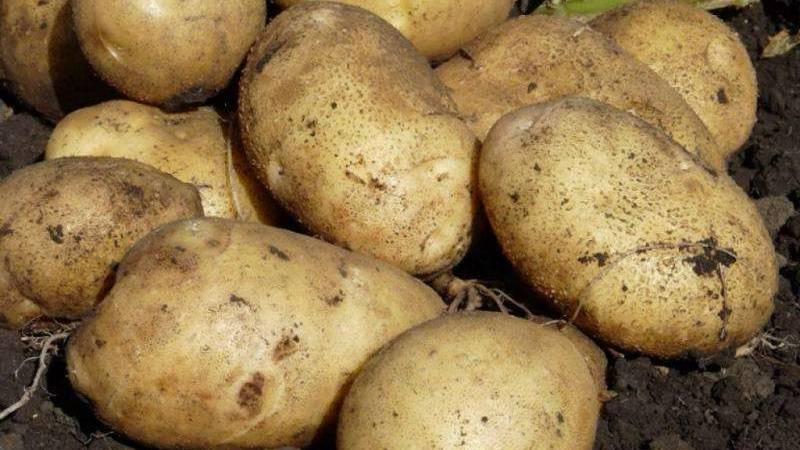 Как сберечь урожай картошки? подробный обзор способов, где и как хранить корнеплод