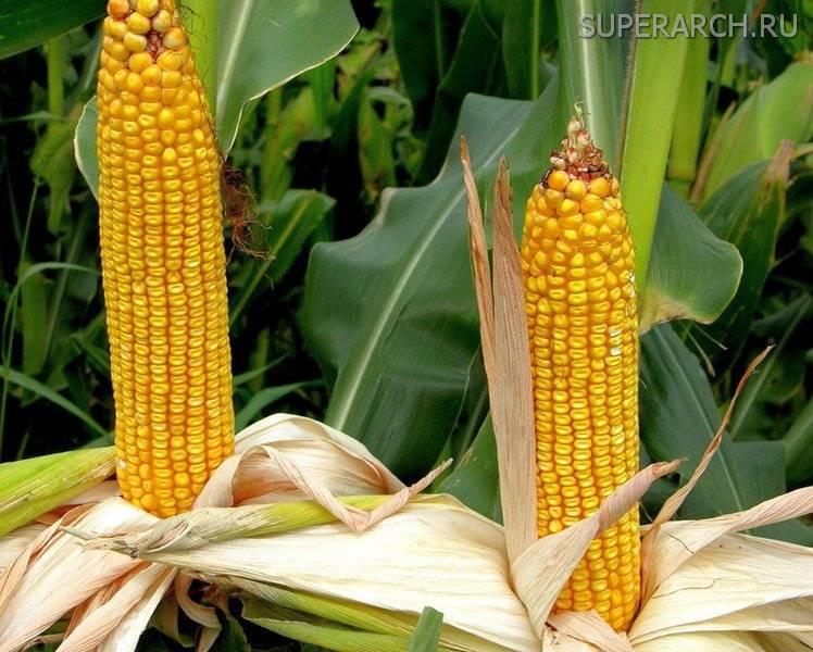 Как выбрать сорт и вырастить кукурузу на дачном участке в открытом грунте?
