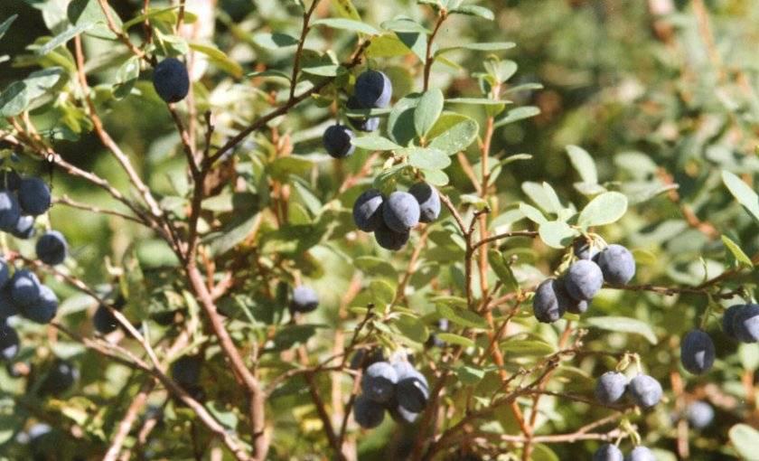 10 сортов садовой голубики, которые вам обязательно понравятся