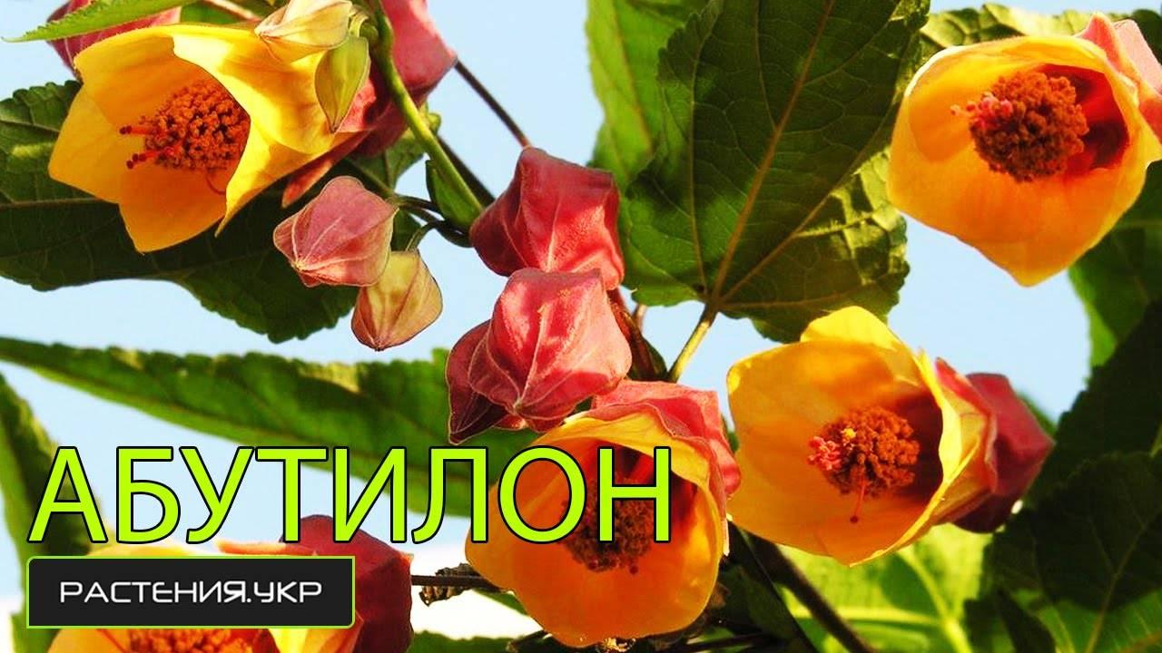Абутилон: разновидности канатника с фото