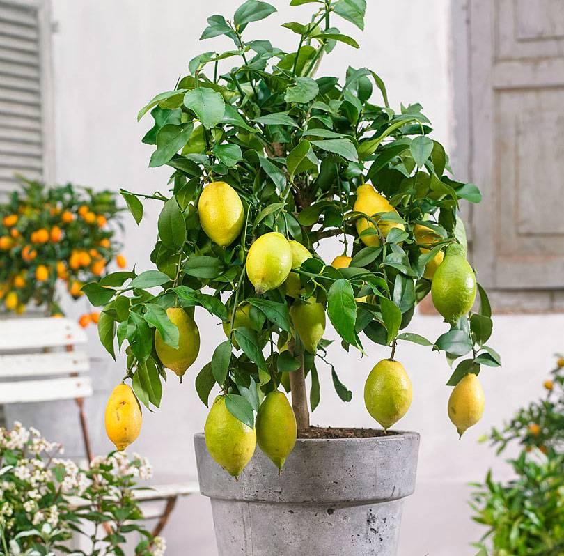 Лимон в домашних условиях: выращивание из косточки