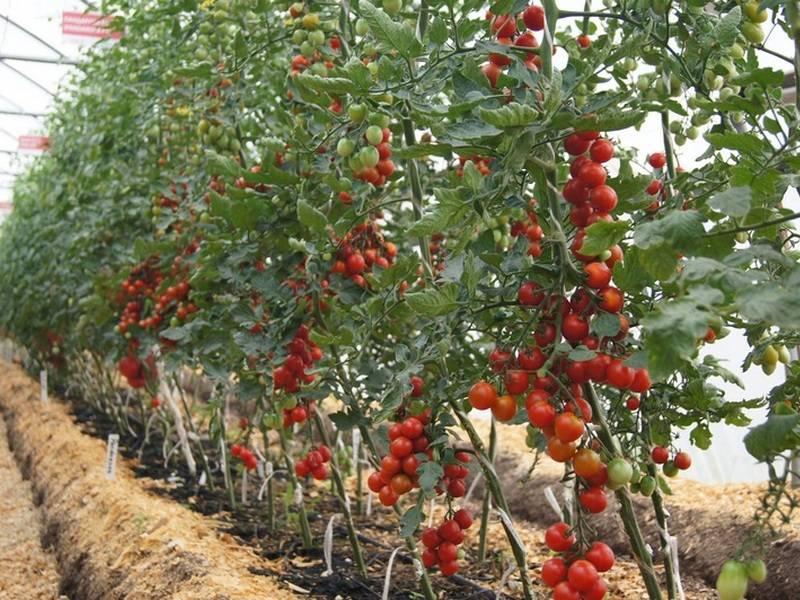 Сравнительные сведения о различных сортах помидор