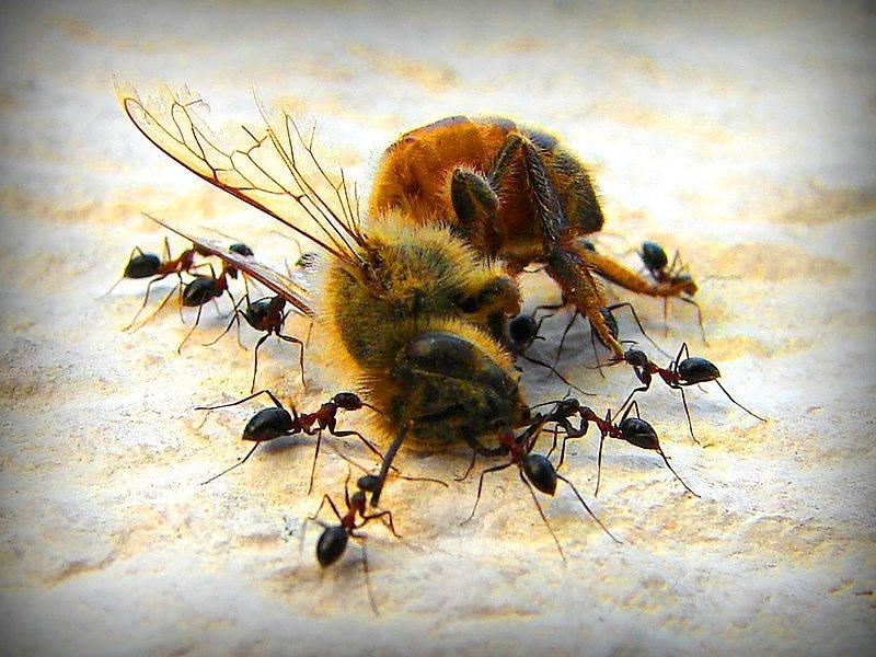 Как избавиться от муравьев в улье