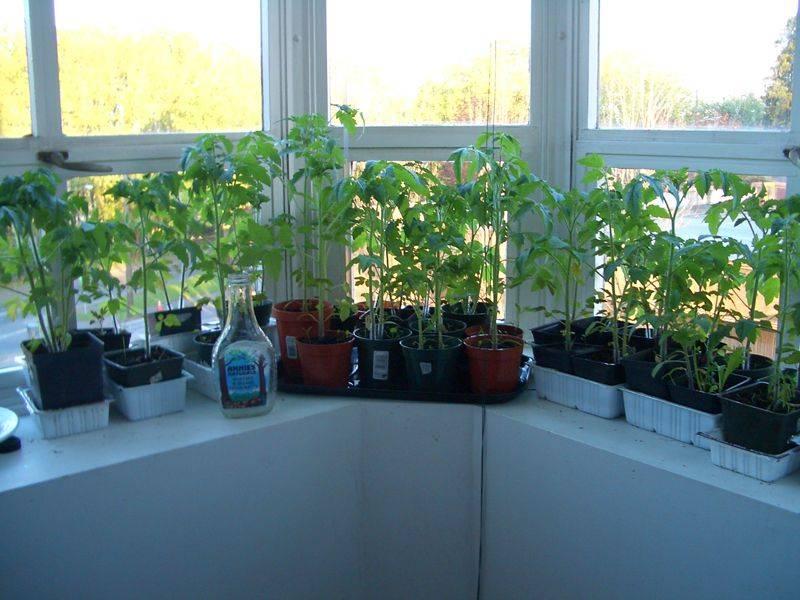Выращивание помидоров зимой на подоконнике в домашних условиях из семян и пасынков