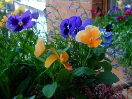 Выращивание виолы из семян в домашних условиях