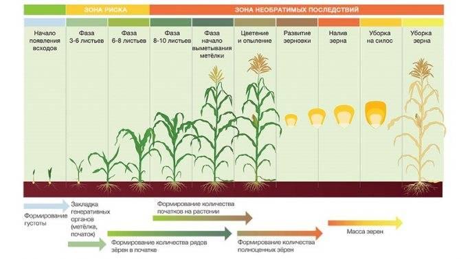 Кукуруза в сибири: посадка и уход