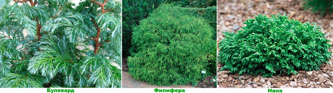 Купрессоципарис лейланда — выращивание, посадка, размножение и уход