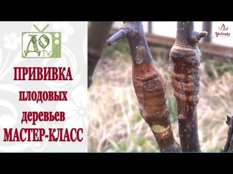Прививка деревьев весной (видео)
