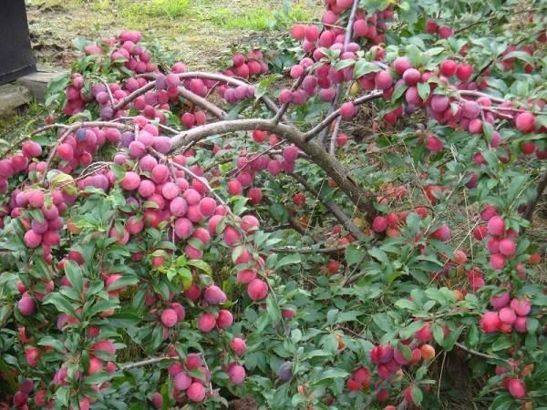 Выращивание алычи - посадка, полив, подкормка, обрезка, видео