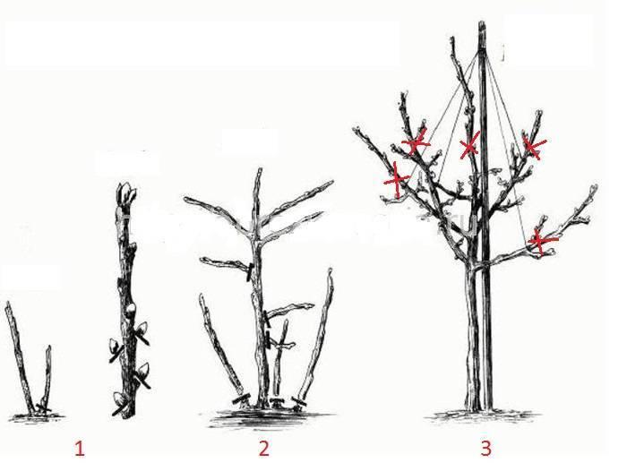 Способы размножения кротона