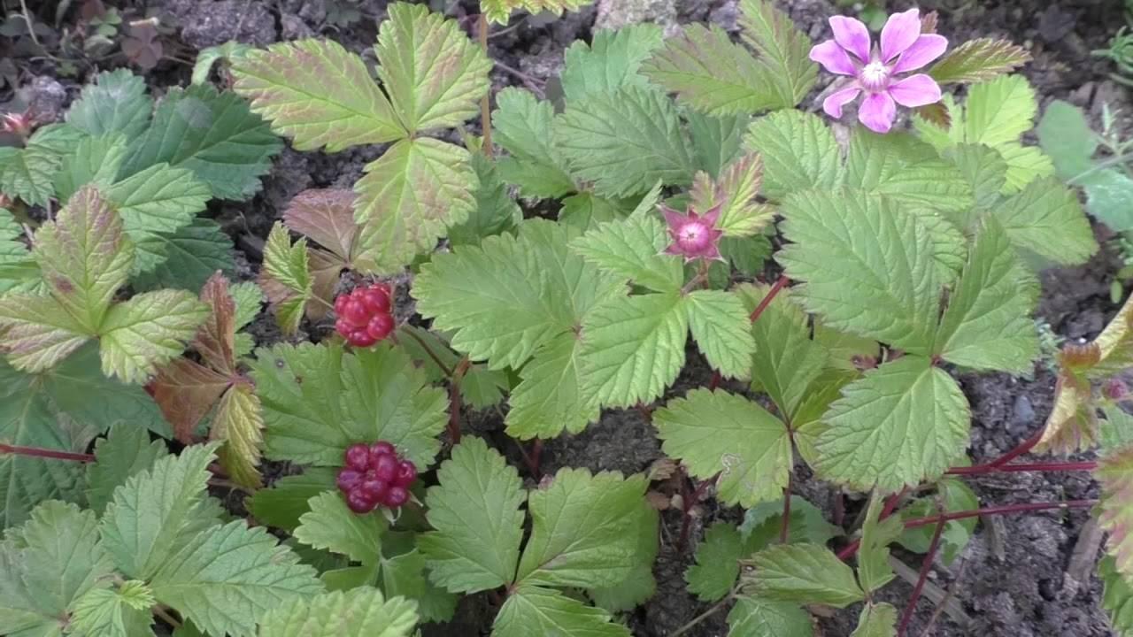 Костяника: лечебные свойства таежной красавицы