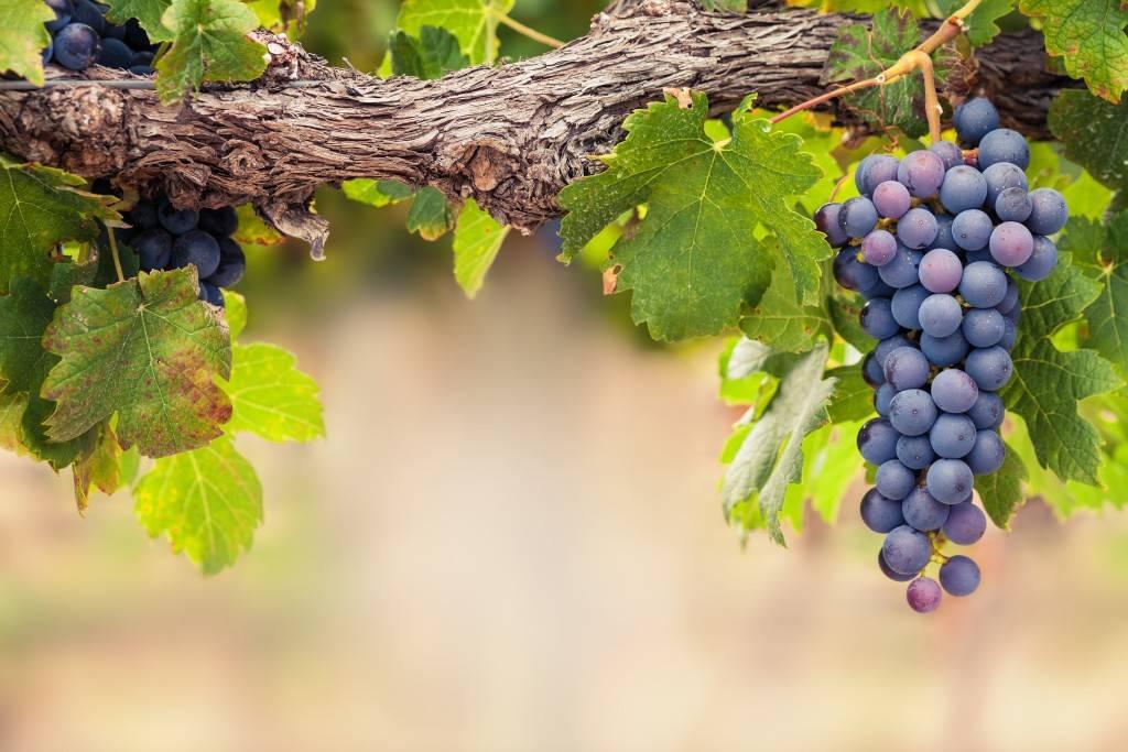 Железный купорос обработка осенью винограда. чем обрабатывают виноград осенью
