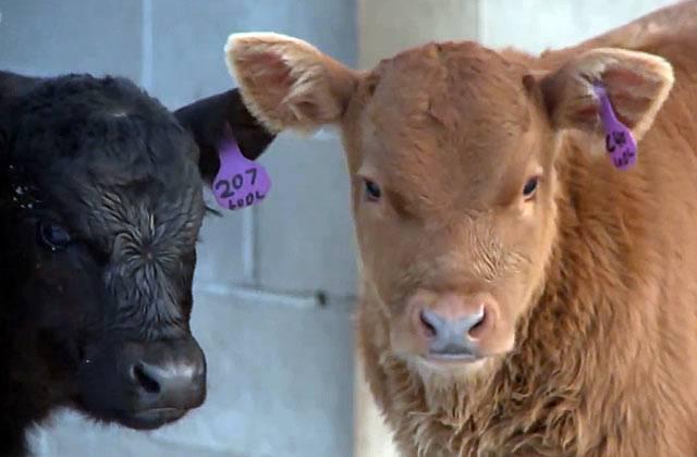 Необходимость полноценного кормового рациона при откорме бычков