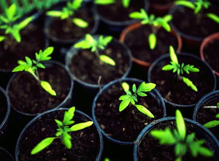 Как вырастить рассаду помидор на подоконнике – отличные результаты