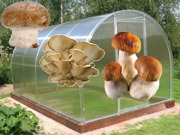 Вырастить на даче белые грибы вполне реально!