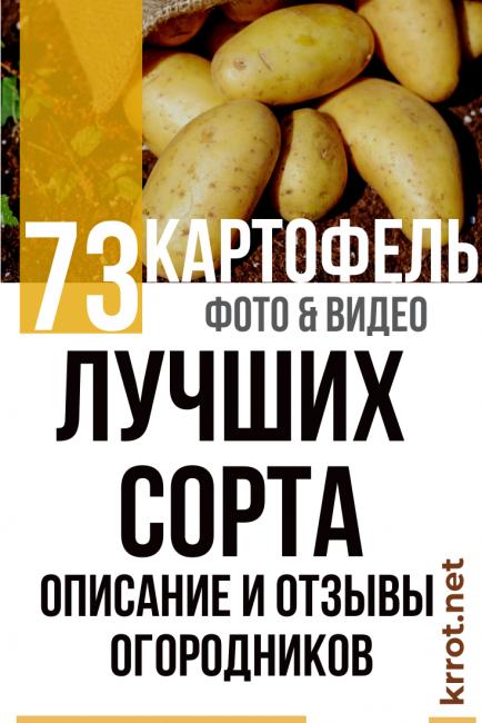 Урожайный и нетребовательный картофель вр 808: описание сорта, его характеристика, фото