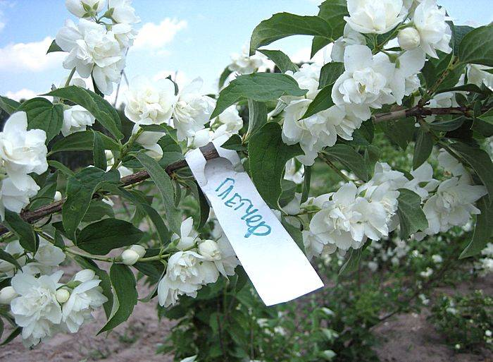 Интересное о жасмине кустарниковом, его видах и сортах