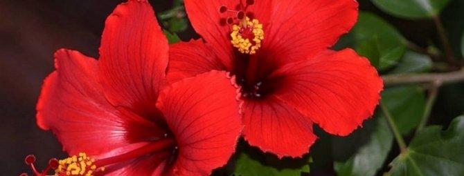 Почему у вас не цветет комнатный гибискус?