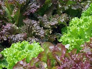 Кочанные и полукочанные салаты: особенности выращивания и лучшие сорта