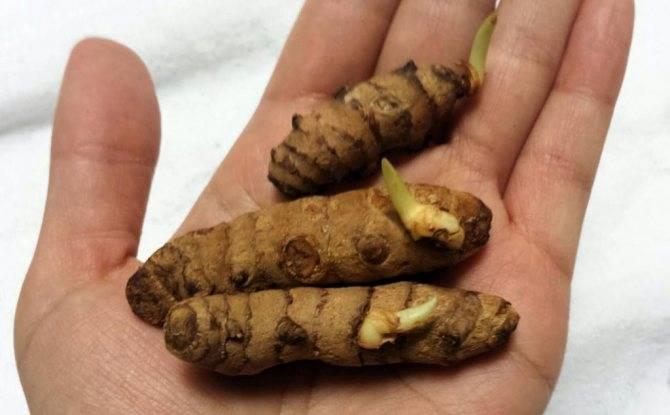 Как вырастить имбирь из корня в домашних условиях — посадка, уход