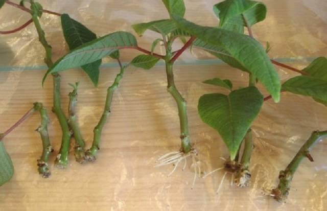 Пуансеттия: виды и сорта, советы по выращиванию