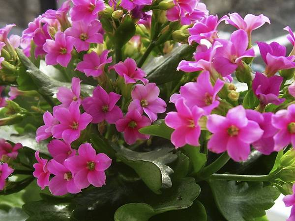 Уход за каланхоэ в домашних условиях после покупки: размножение и пересадка цветка