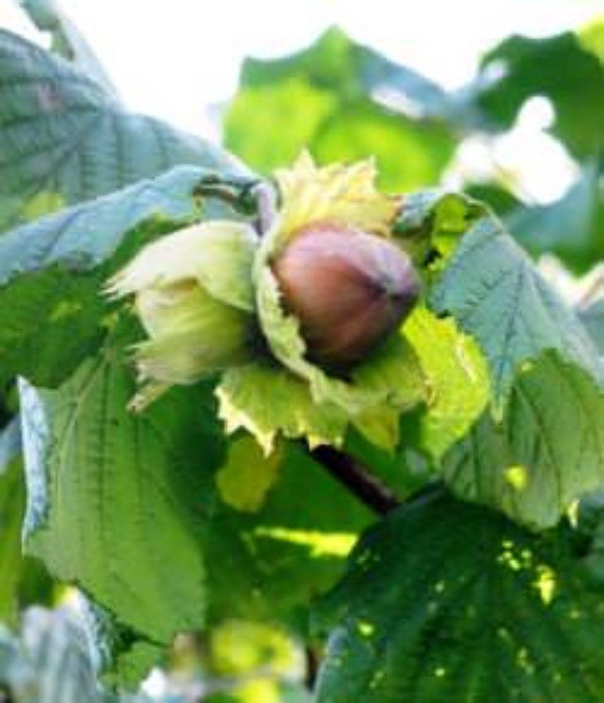 Чем отличается посадка и выращивание фундука