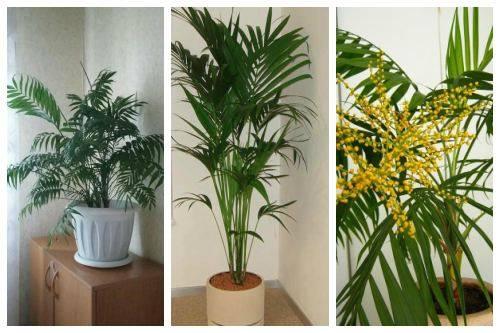 Теневыносливая пальма хамедорея