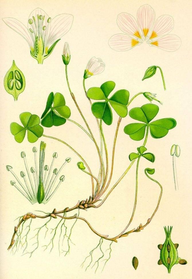 Цветы заячья капуста лечебные свойства