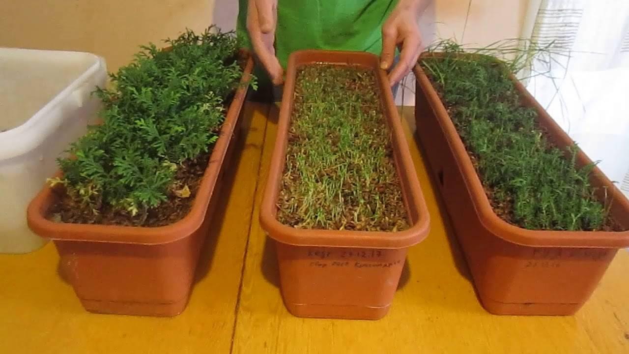 Как вырастить тую из семян: от зёрнышка до взрослого дерев