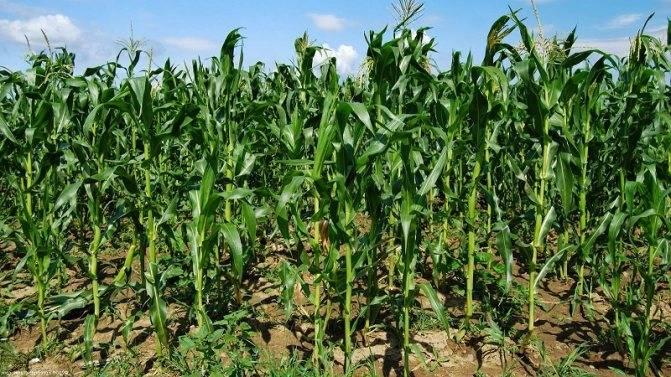 Кукуруза — царица полей на даче