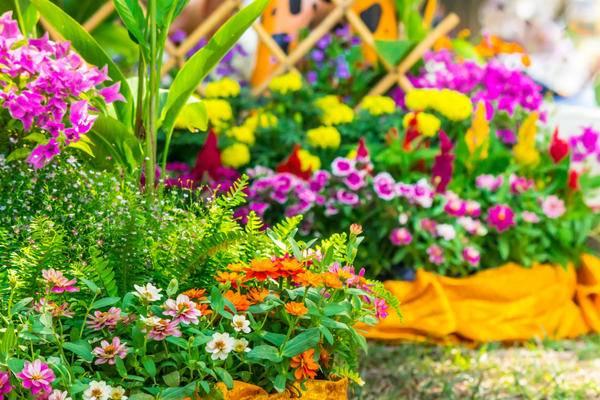 Особенности цветения бадана, видео