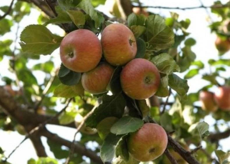 Сладкая яблоня медуница: описание, фото, отзывы