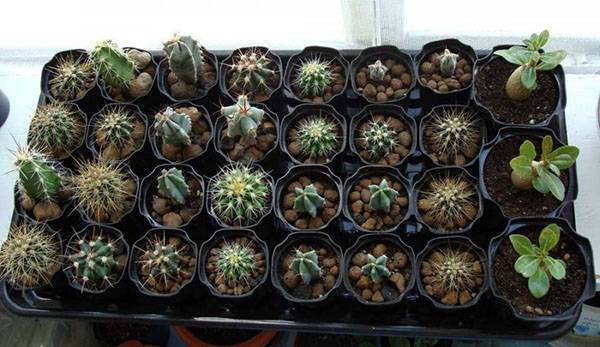 Как вырастить примулы из семян?