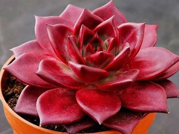 Цветок эхеверия: уход за нежной каменной розой в домашних условиях