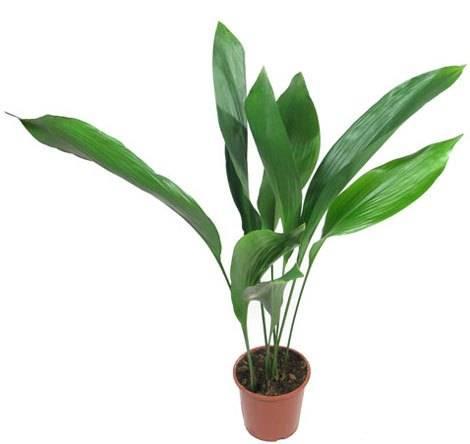 Калерия цветок уход в домашних условиях фото. колерия — уход в домашних условиях